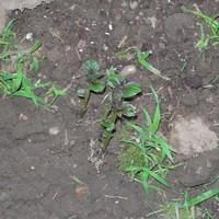 2009_garden_potatoJune