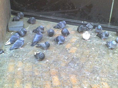 022008_pigeons_2